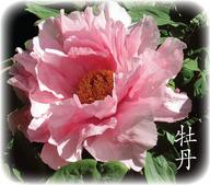 Mudan-PinkWL-Hanzi 2